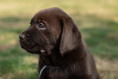Puppy Gio Hulphond Nederland