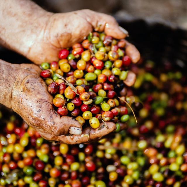 Met uiterste precisie geplukte koffiebonen voor Gio Coffee koffiemelanges